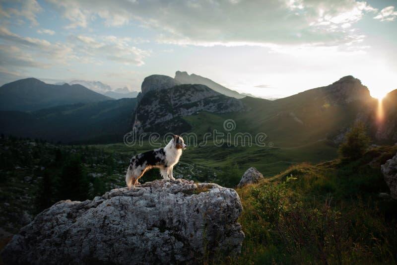 Cão na montanha no por do sol Viagem com um animal de estima??o Pastor australiano na natureza imagens de stock