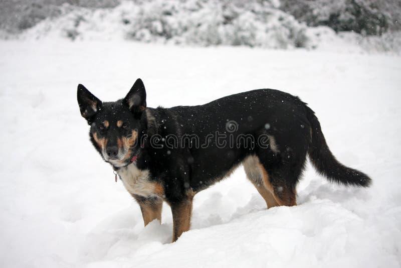 Cão na neve imagens de stock