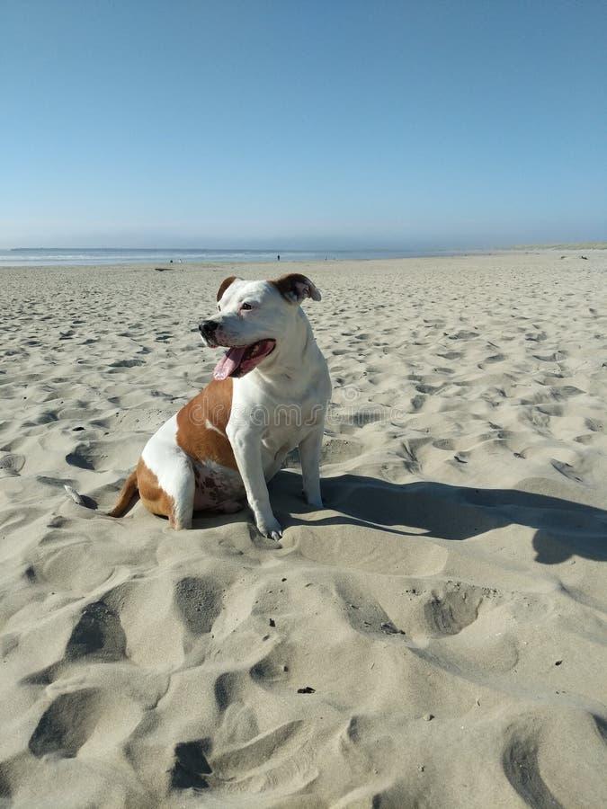Cão na praia imagem de stock royalty free