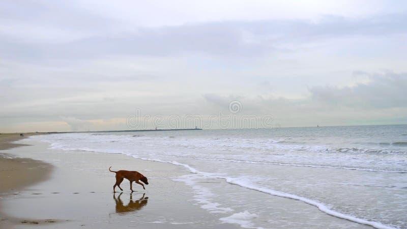 Cão na praia fotos de stock royalty free