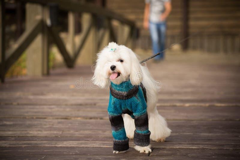 cão na roupa foto de stock