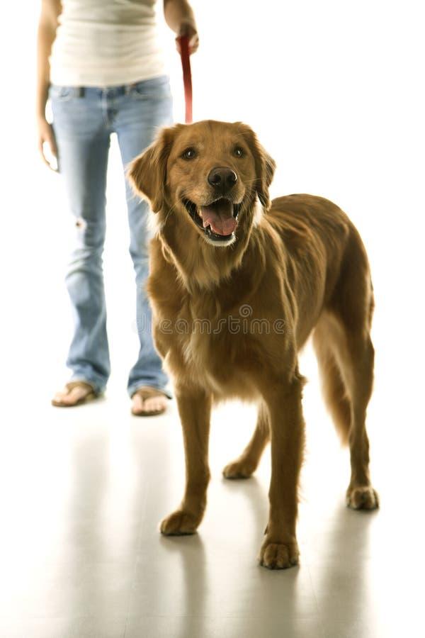 Cão na trela fotografia de stock royalty free
