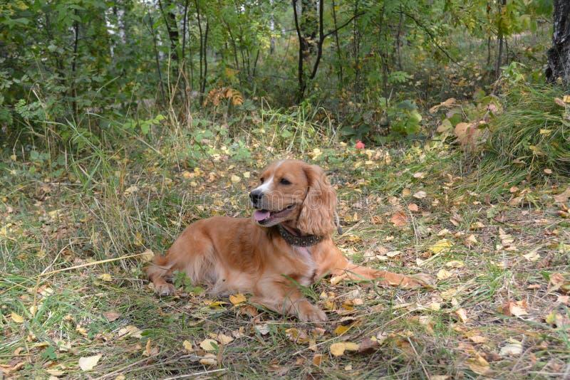 Cão nas madeiras imagem de stock royalty free