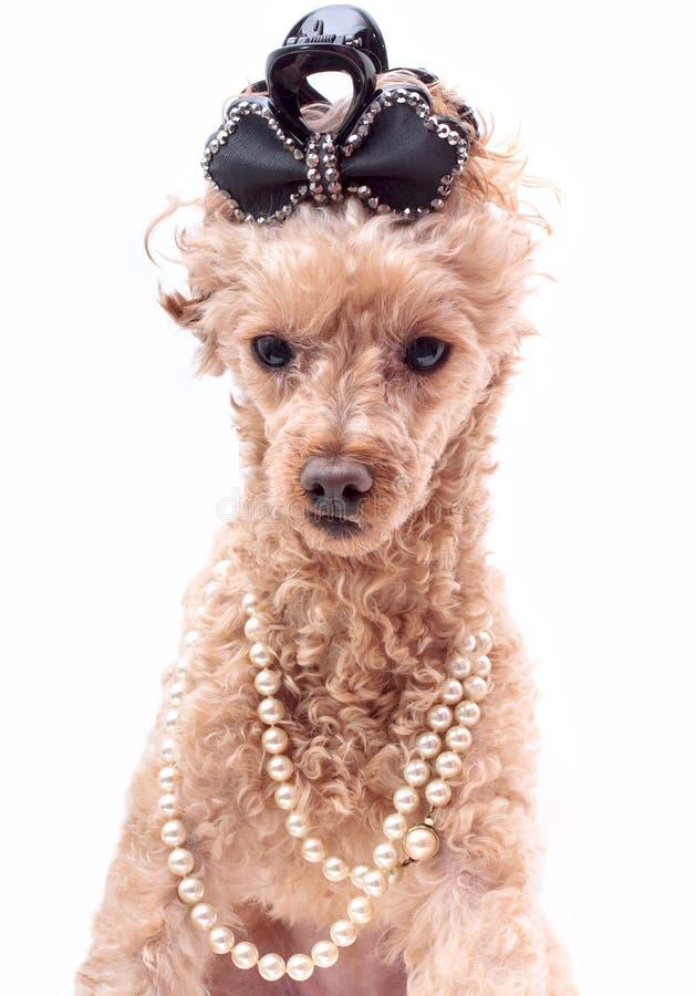 Cão nas pérolas imagens de stock royalty free