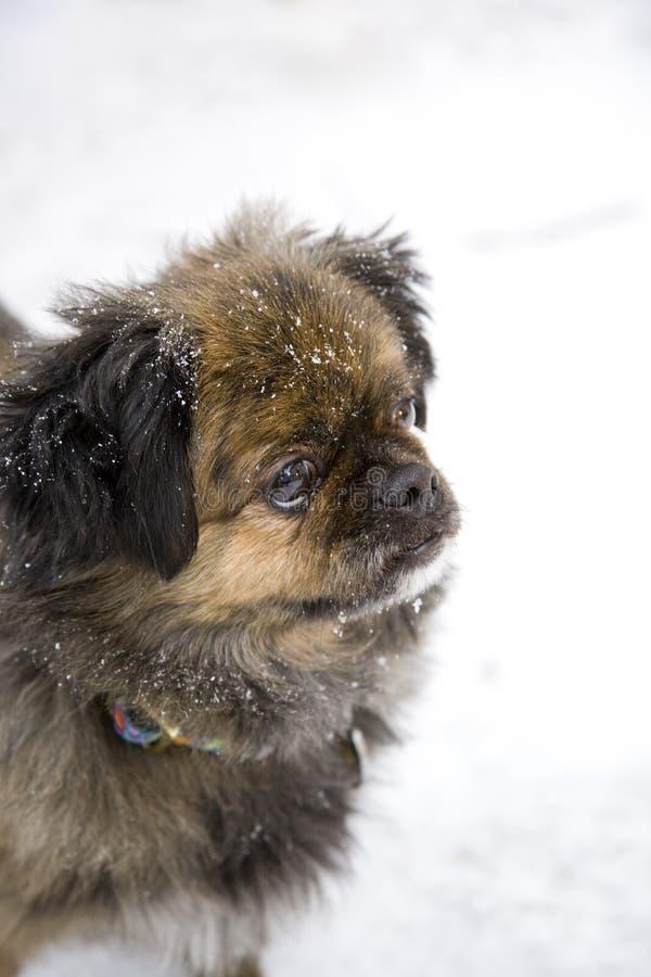 Cão nevado imagens de stock royalty free