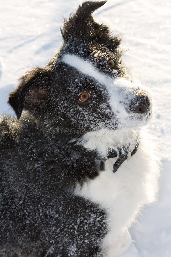 Cão nevado da exploração agrícola de Colllie da beira que olha para cima. fotos de stock