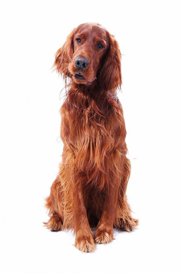 Cão no branco fotografia de stock royalty free