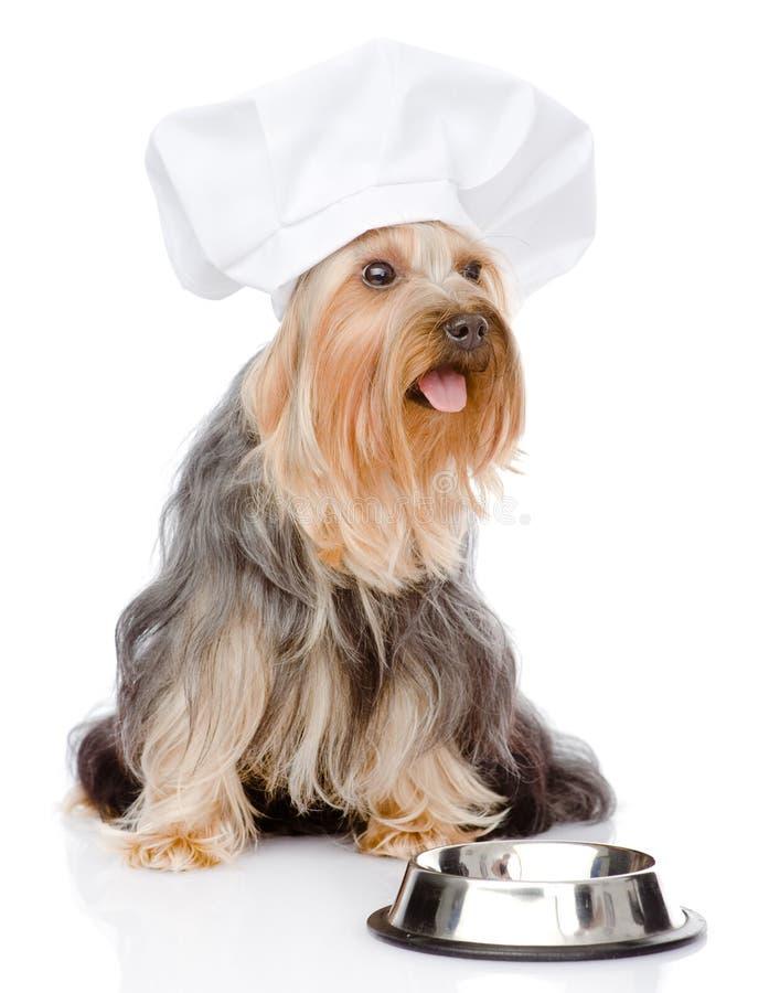 Cão no chapéu do cozinheiro chefe que implora pelo alimento Vista afastado Isolado no wh fotos de stock