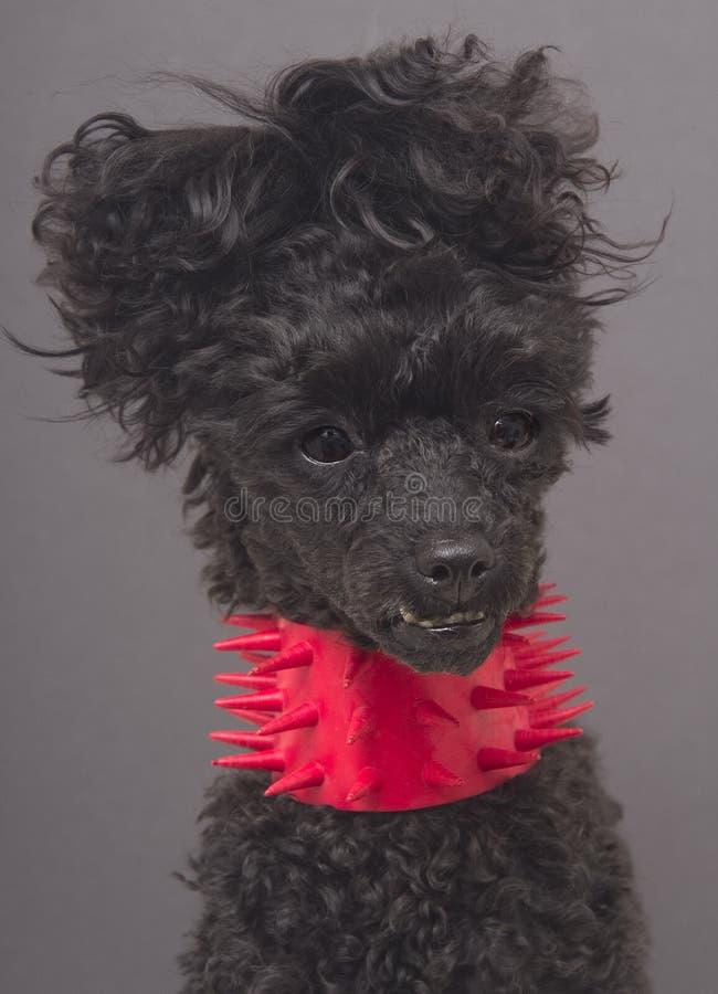 Cão no colar Spiky foto de stock