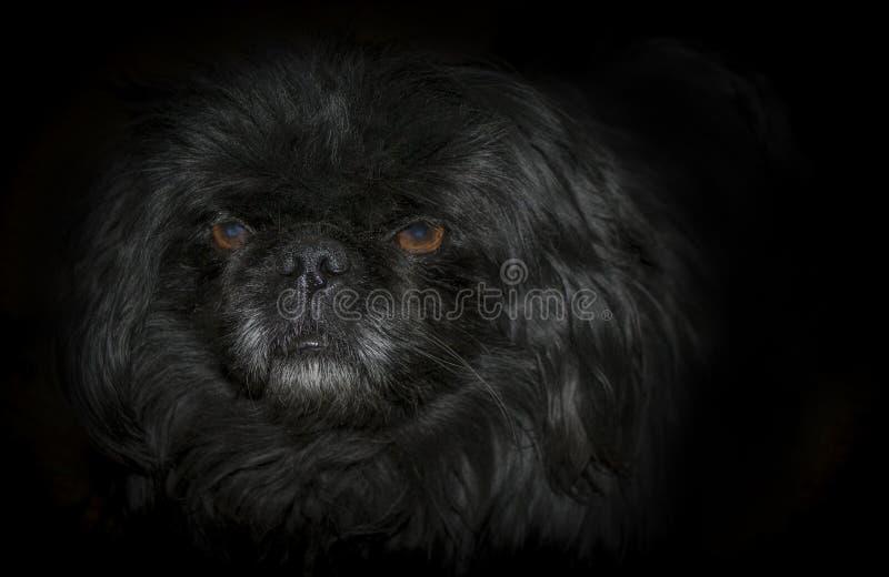 Cão no fundo preto fotos de stock royalty free