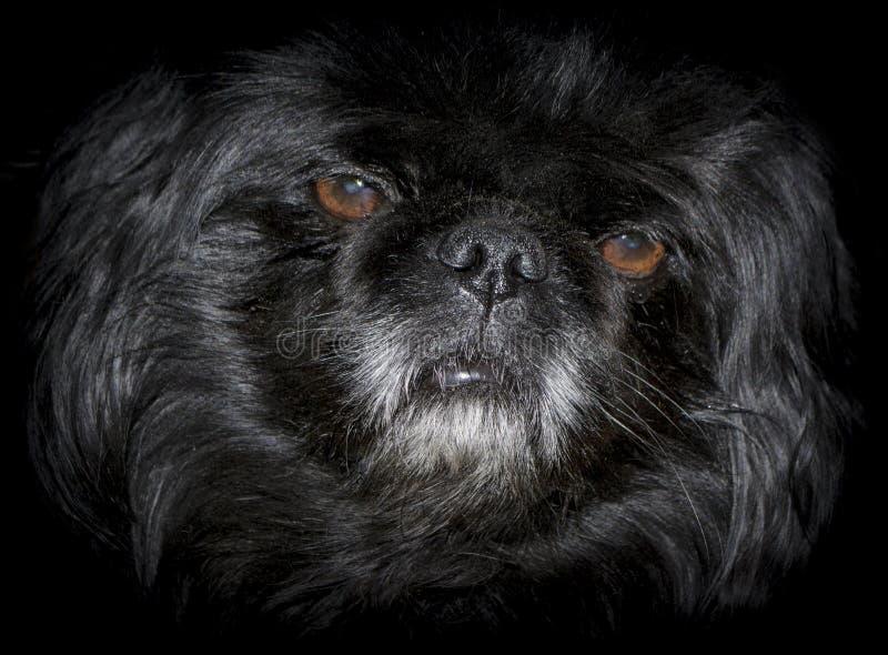 Cão no fundo preto imagens de stock