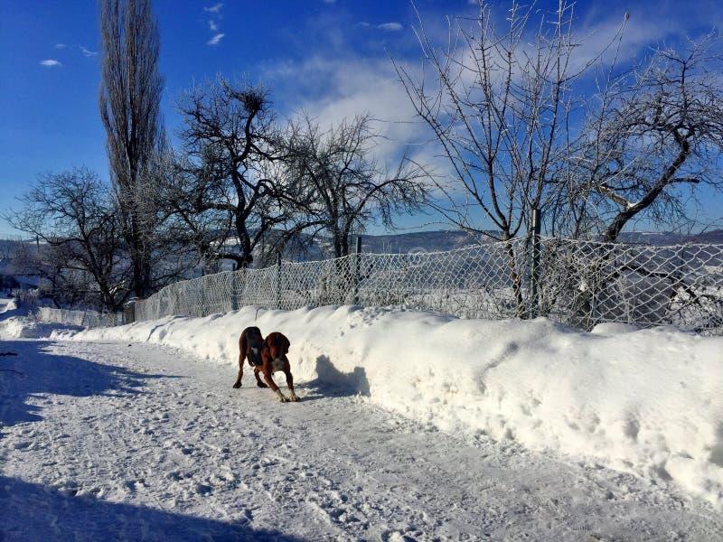 Cão no gelo fotos de stock royalty free
