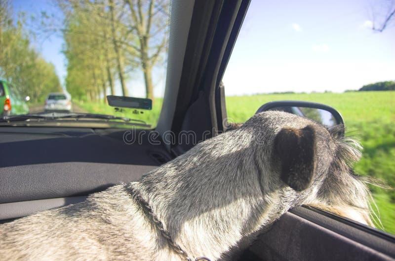 Cão no indicador de carro foto de stock