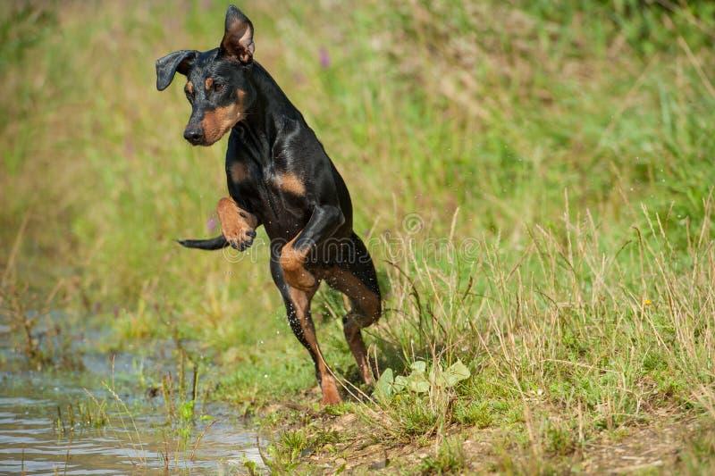 Cão no lago imagem de stock