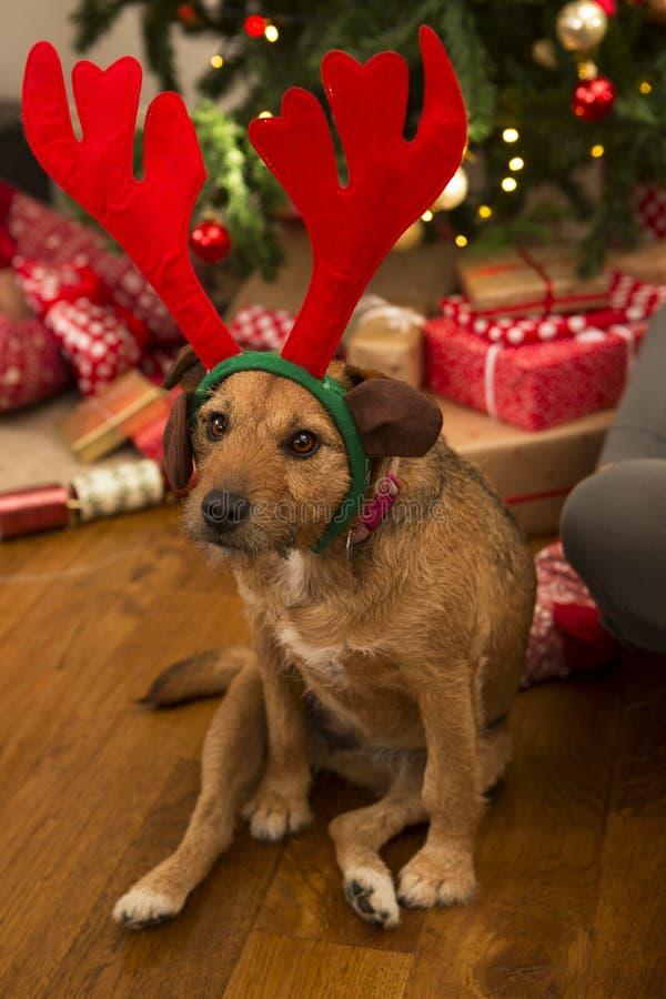 Cão no Natal fotos de stock