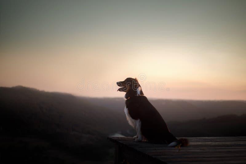 Cão no por do sol na natureza Animal de estimação em uma ponte de madeira pastor australiano obediente foto de stock royalty free