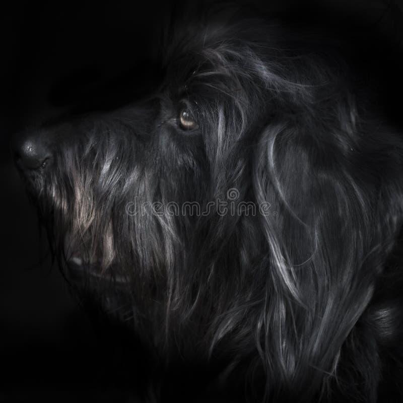 Cão no preto fotografia de stock royalty free
