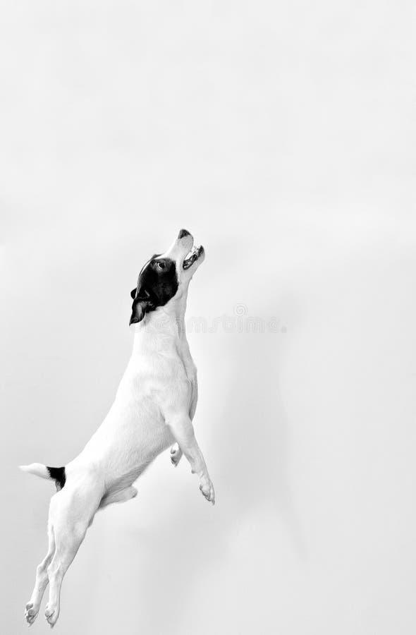 Cão no salto. imagens de stock royalty free