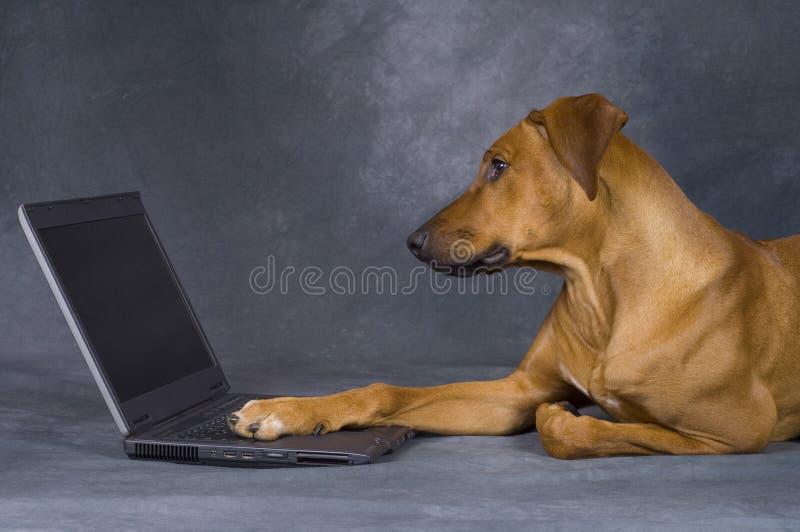 Cão no trabalho imagens de stock