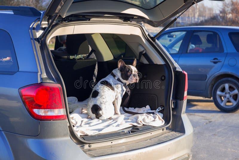 Cão no tronco de carro fotos de stock royalty free