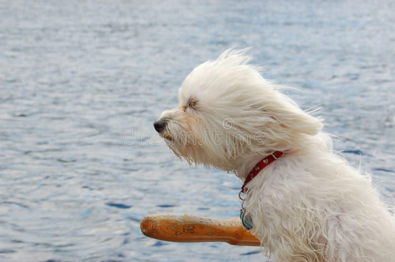 Cão no vento imagens de stock royalty free