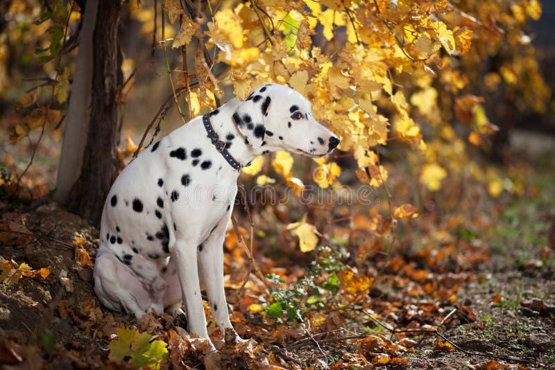 Cão no vinhedo do outono fotografia de stock royalty free
