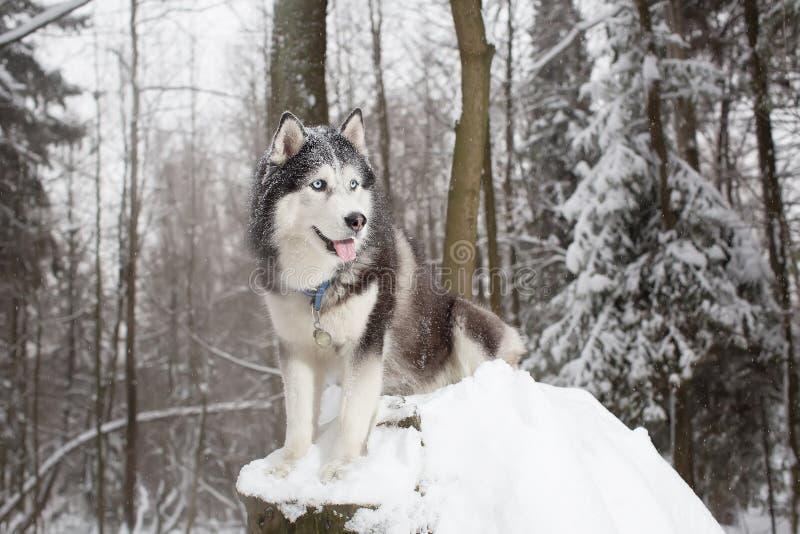 Cão nobre no cão de puxar trenós da floresta do inverno foto de stock