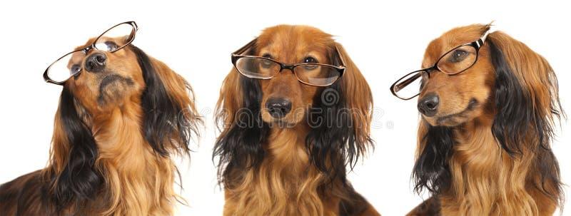 Cão nos vidros foto de stock