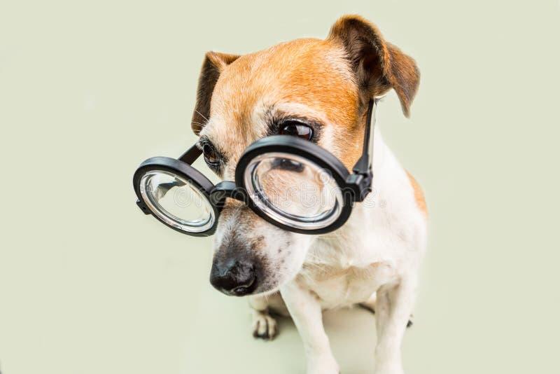 Cão nos vidros filhote de cachorro engraçado do estilo do lerdo De volta ao tema da escola fotos de stock royalty free
