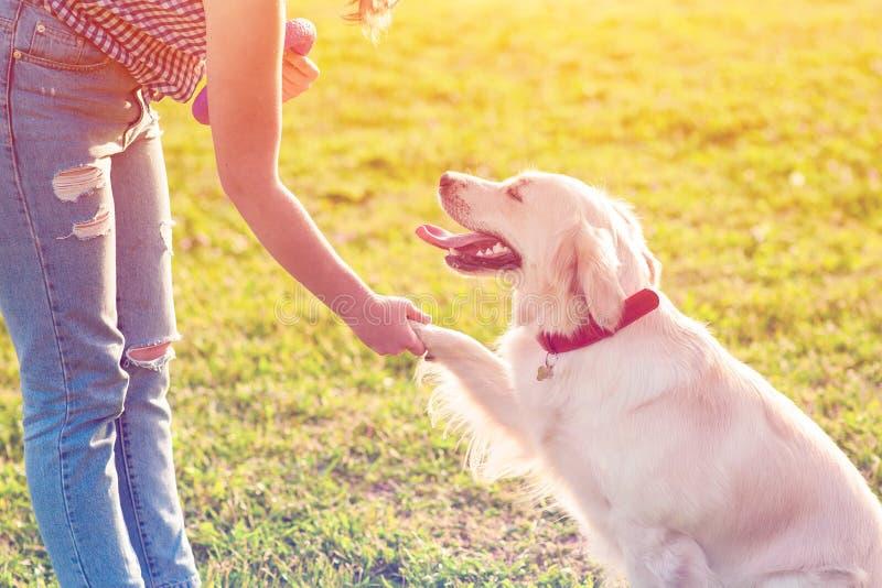 Cão novo bonito do golden retriever que dá uma pata imagens de stock royalty free