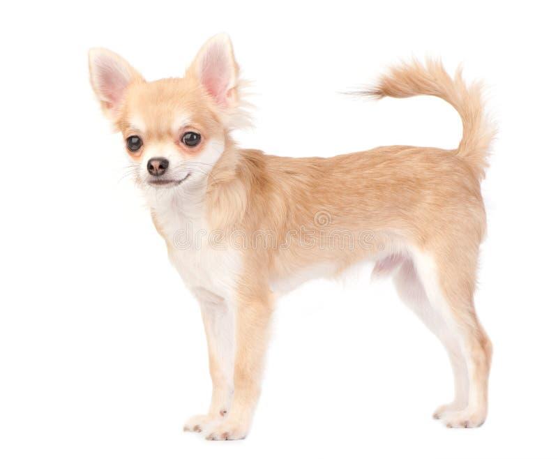 Cão novo da chihuahua isolado no branco fotografia de stock royalty free