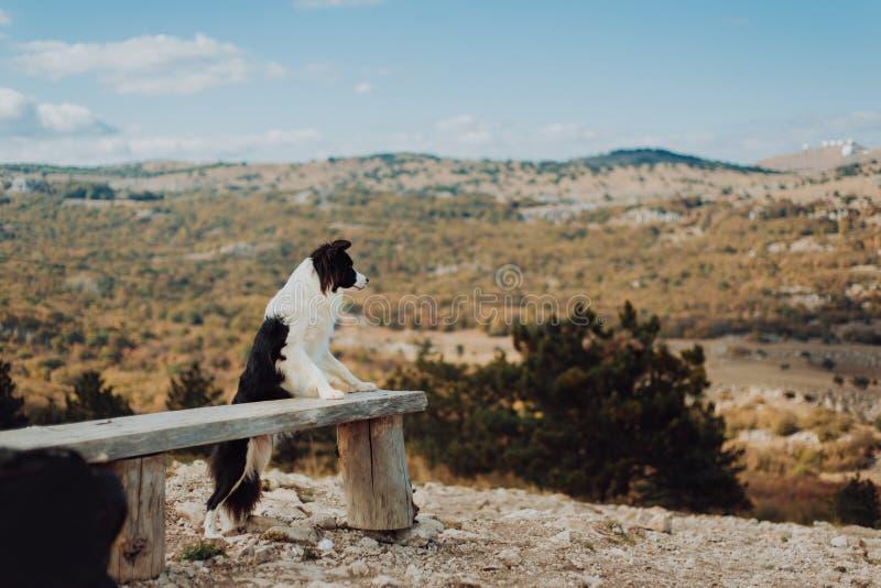 Cão novo de border collie com uma estada preto e branco do colar nas patas traseiras no banco através das montanhas com céu ensol foto de stock royalty free