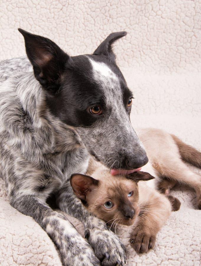 Cão novo de Heeler que lambe um gato Siamese pequeno na cabeça fotografia de stock royalty free