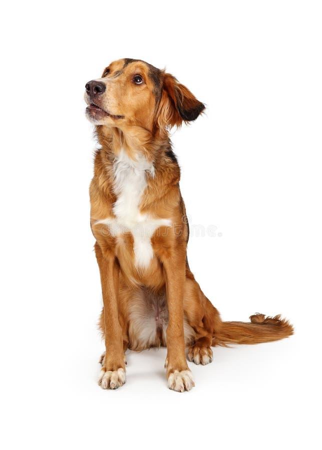 Cão novo do híbrido do golden retriever de Saluki que olha lateral foto de stock
