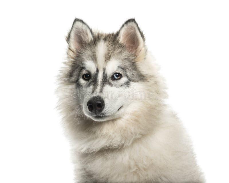 Cão novo do Malamute do Alasca com um olhos azuis contra o backg branco imagens de stock