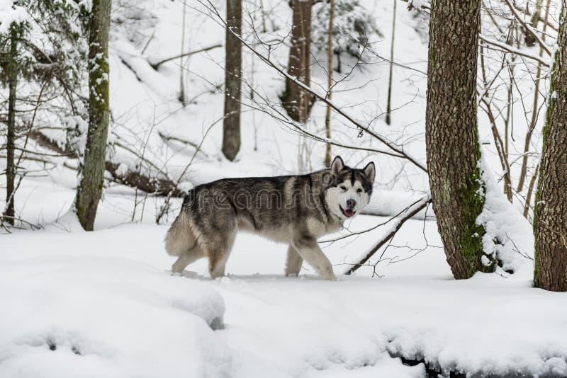 Cão novo do Malamute do Alasca que anda na floresta nevado imagens de stock royalty free