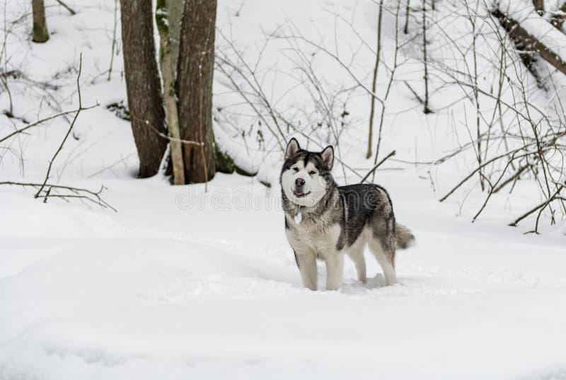 Cão novo do Malamute do Alasca que está em Forest Open Mouth nevado foto de stock