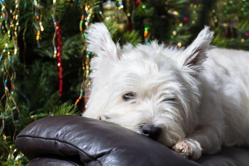 Cão ocidental branco adorável de Terrier das montanhas que descansa sua cabeça na poltrona com a árvore de Natal no fundo foto de stock royalty free