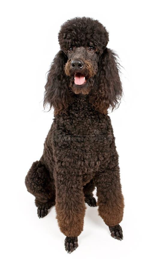 Cão padrão preto da caniche isolado no branco imagem de stock