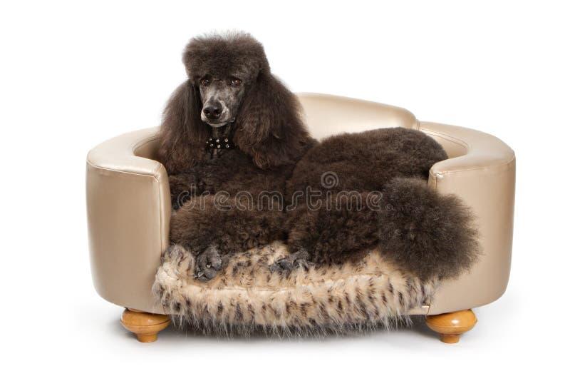 Cão padrão preto da caniche na cama luxuosa fotografia de stock royalty free