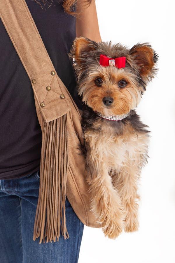 Cão Pampered do yorkshire terrier no portador da camurça imagem de stock royalty free
