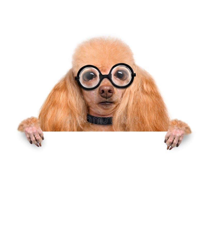 Cão parvo louco com vidros engraçados foto de stock