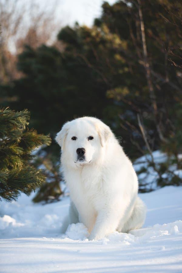 Cão pastor abruzzese do maremmano bonito e livre O retrato do cão macio branco grande está na neve na floresta no inverno foto de stock