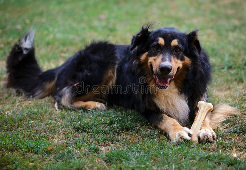 Cão-pastor alemão com osso fotos de stock