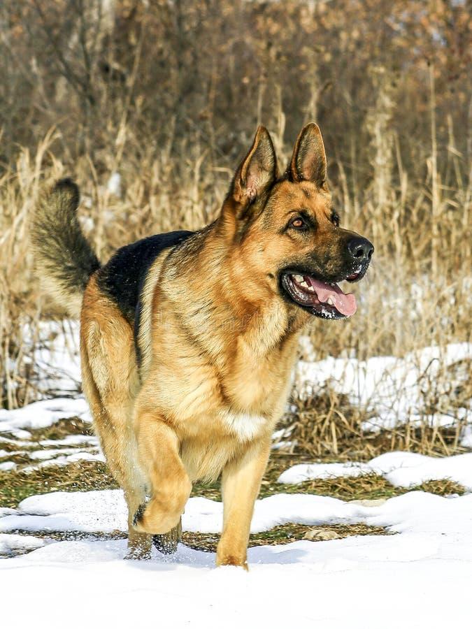 Cão-pastor alemão masculino poderoso fotografia de stock
