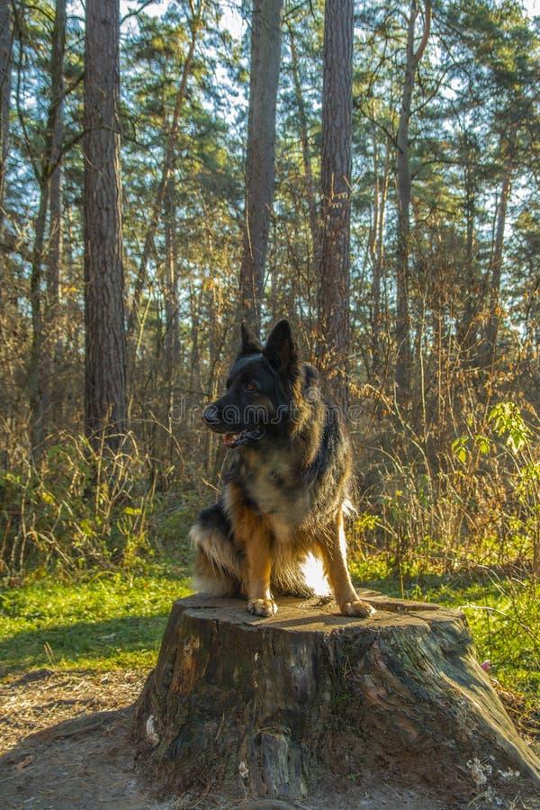 Cão-pastor alemão que levanta em uma posição da floresta em um coto, mola Rússia fotos de stock royalty free