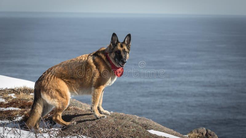 Cão-pastor alemão que senta-se em Terra Nova e em Labrador rochosos c imagens de stock