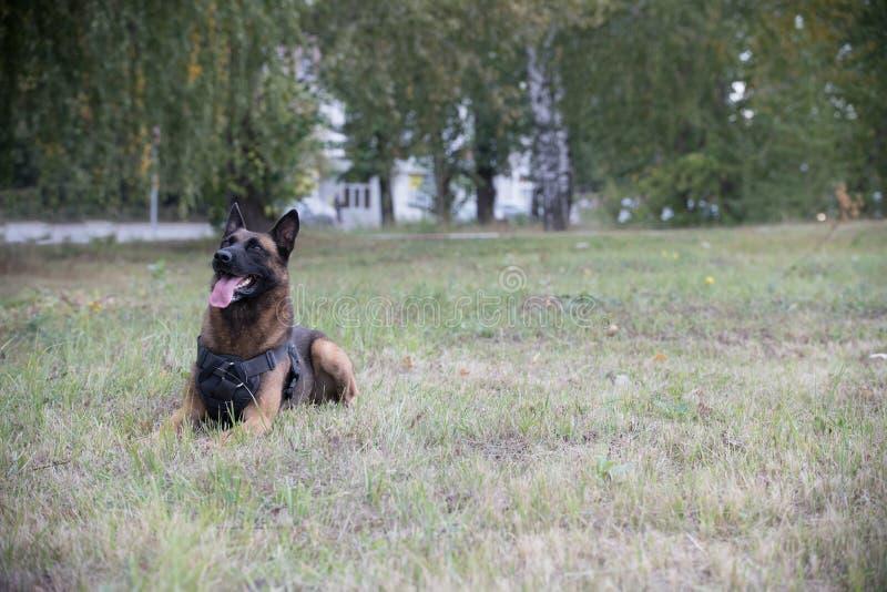 Cão pastor alemão treinado grande que senta-se em um campo foto de stock