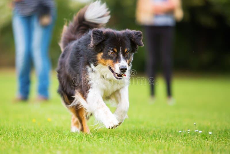 Cão-pastor australiano que corre no prado fotografia de stock royalty free