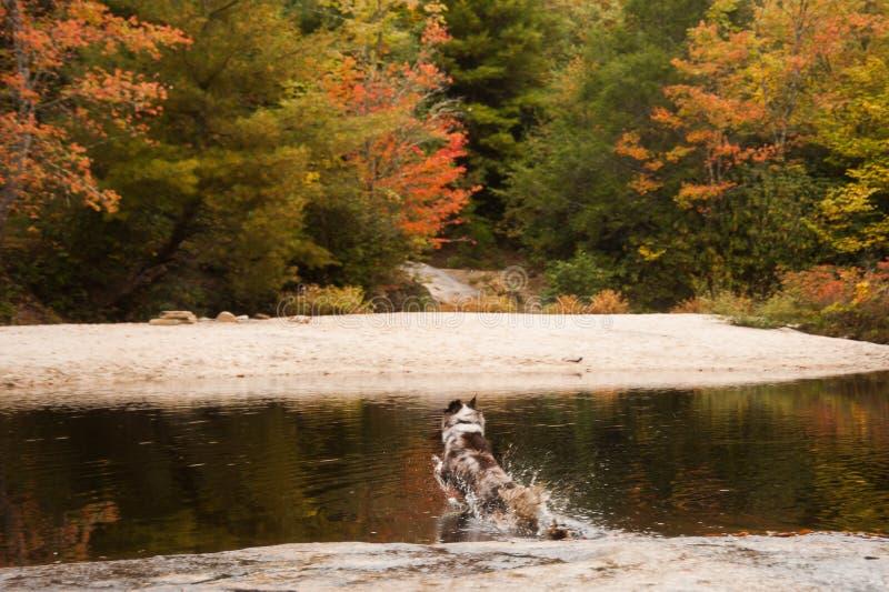 Cão-pastor australiano que salta no lago com folliage do outono imagem de stock